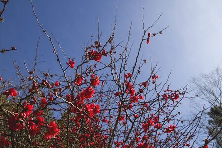 Chaenomeles japonica red flowers blooming