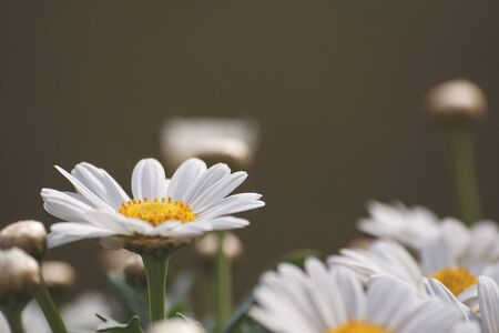 White daisy flowers blooming in spring