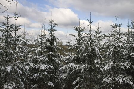 Evergreen trees under the snow Banco de Imagens