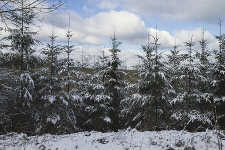 Evergreen trees under the snow