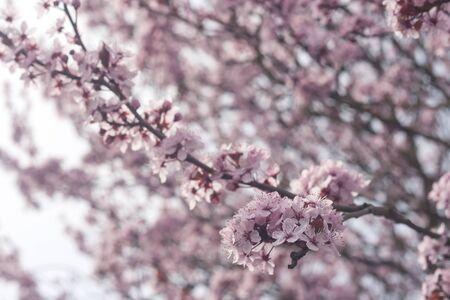 Plum pink flowers blooming in spring Foto de archivo