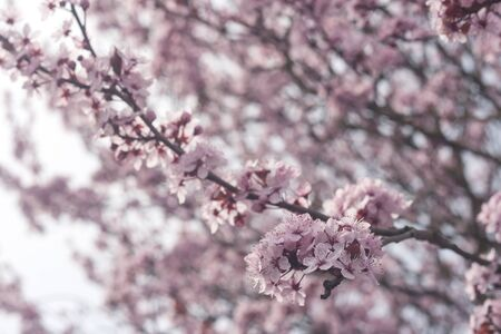 Plum pink flowers blooming in spring Banco de Imagens
