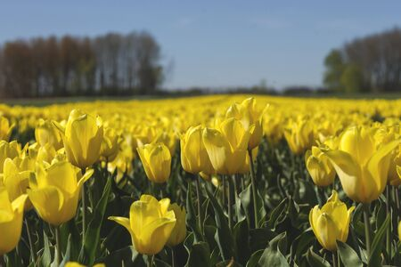 Colorful tulip flowers blooming in spring
