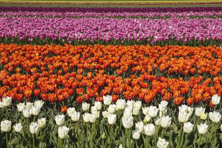 Colorful tulip flowers blooming in spring Stock Photo
