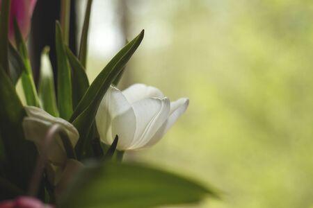Detai of tulip white flower