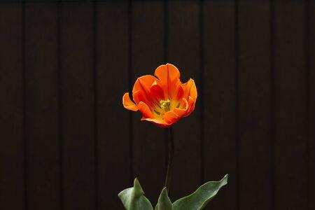 Orange tulip flower and black backdrop Stock Photo