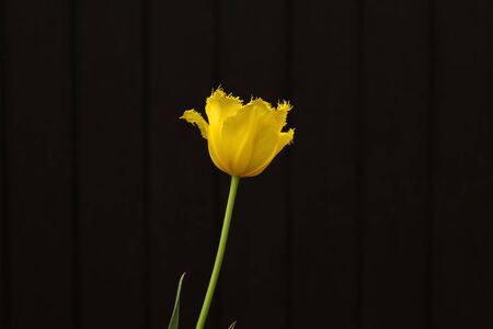 Yellow tulip flower and black backdrop