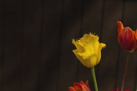 Yellow tulip flower close up