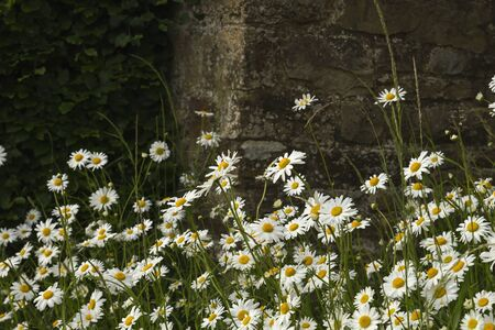 Daisy white flowers blooming in spring