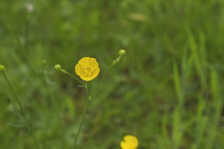 Wild yellow flowers among the green grass