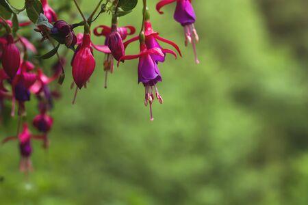 Fuchsia flowers blooming in spring 免版税图像