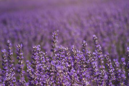 Lavender fields landscape in bloom