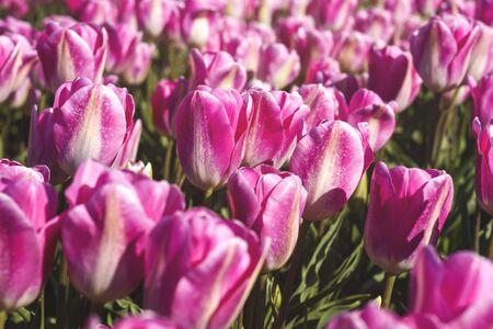 Pink tulip flowers blooming in spring