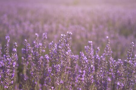 Detail of purple lavender flowers blooming