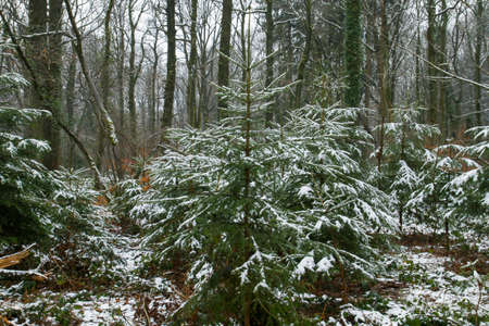 Coniferous evergreen trees covered of snow