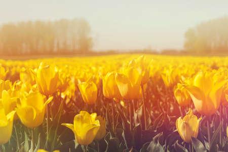 Detail of tulips field landscape in bloom