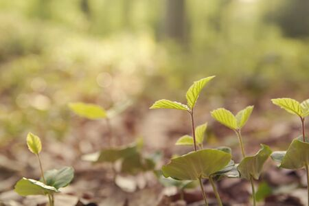 Beech trees sprouts growing in the forest 写真素材