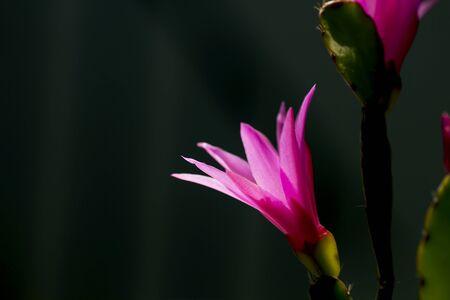 Detail of hatiora cactus pink flower 免版税图像