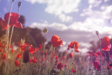Wild red poppy flowers blooming in the springtime countryside