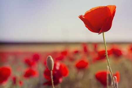 Wild red poppy flowers blooming in the springtime countryside Banque d'images