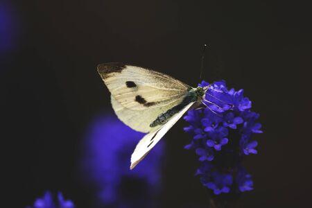 White butterfly on purple lavender flower Reklamní fotografie