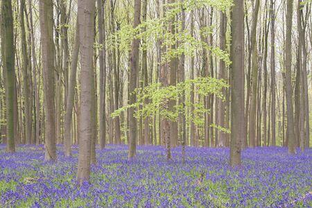 Springtime forest with blossoming bluebells Zdjęcie Seryjne