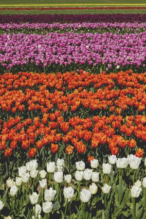 Colorful tulips fields in bloom