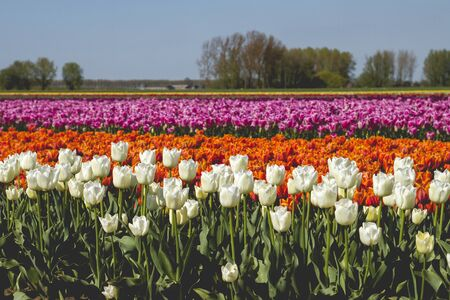 Colorful tulips fields in bloom Stock Photo
