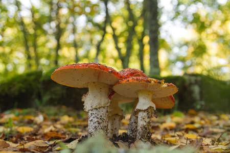 Amanita muscaria or fly agaric mushrooms growing wild in the autumnal woodland Zdjęcie Seryjne