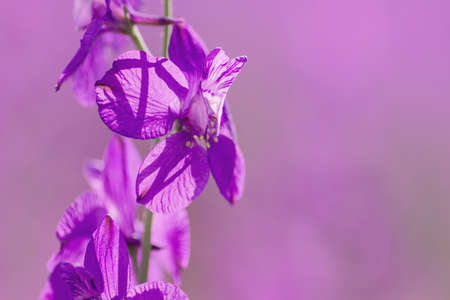 Consolida ajacis purple flowers blooming