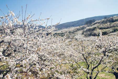 Cherry blossoms landscape in Valle del Jerte, Spain