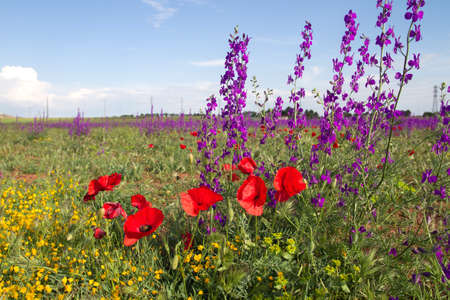 Wild red poppy flowers blooming in the springtime fields