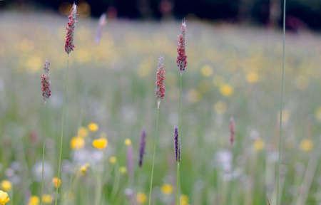 Marsh foxfail flowers blooming in spring Imagens