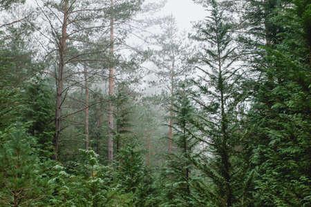 Green landscape in coniferous forest