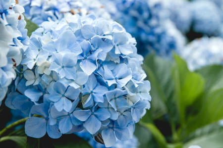 Hydrangea blue flowers close up