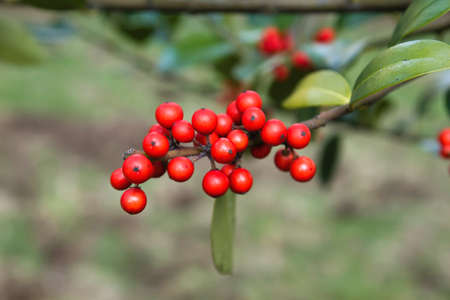 Holly tree with red berries and green foliage