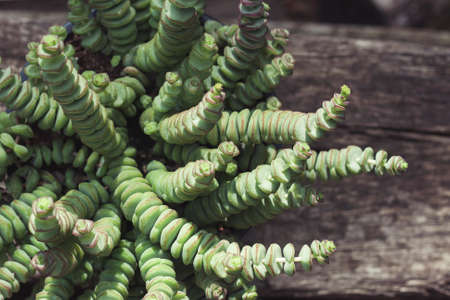 Crassula perforata succulent plant green foliage detail