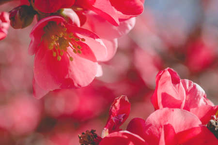 Chaenomeles japonica or maules's quince red pinkish flowers close up