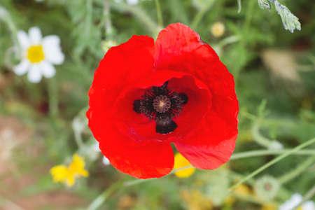 Wild red poppy flowers blooming in spring