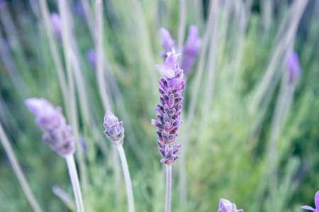 Purple lavender flowers blooming in spring