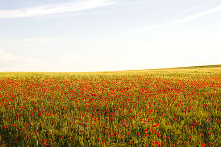 Wild red poppi flowers field