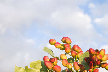 Pistachio nuts ripening in the tree