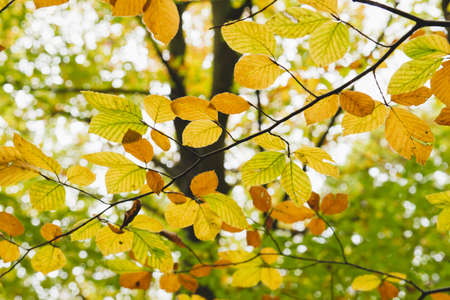Beech trees autumnal foliage