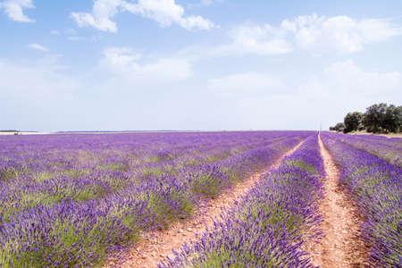 Purple landscape in blossoming lavender fields