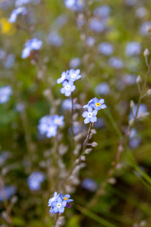 Forget me not blue flowers blooming in spring