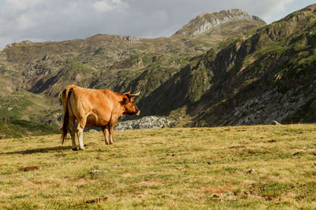 Cattle grazing in the mountains