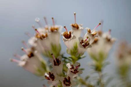 Detail of erica arborea or tree heath white flowers blooming in spring