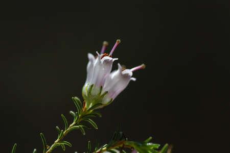 Detail of erica arborea or tree heath white flowers blooming in spring, copy space.