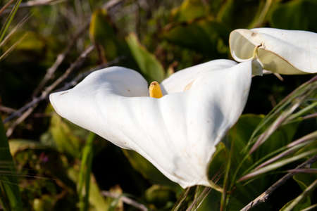Calla lily white flowers