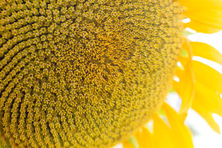 Sunflower flowerhead florets close up